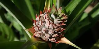 pineapple plant free pictures on pixabay