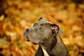 america pit bull terrier club determining a pit bull u0027s bloodline cuteness
