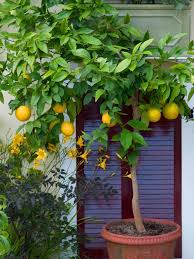 grow in pots citrus trees hgtv