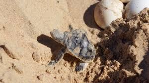 tracking turtle nests at eco beach western australia australian