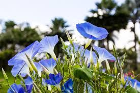 Blue Lotus Flower Meaning - morning glory flower meaning flower meaning