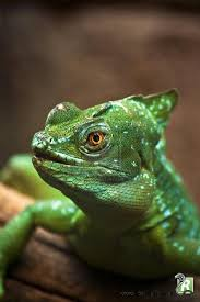 30 best les lézards images on pinterest reptiles animals and