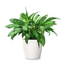 plante d駱olluante bureau aglaonema commutateur plante dépolluante neutralise le ène