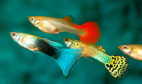 most expensive guppy fish collection of beautiful guppy fish youtube