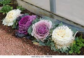 purple ornamental cabbage flower in stock photos purple