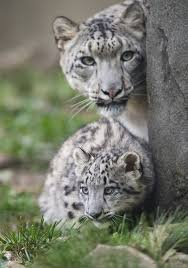 510 best cats images cats wild animals and baby