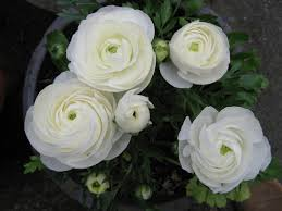 ranunculus flower simple beauty ranunculus start a easy backyard flower