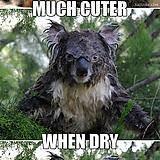 Koala Bear Meme - wet koala bear meme bigking keywords and pictures