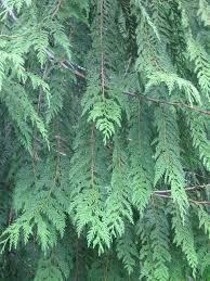 western cedar wildfoodsandmedicines