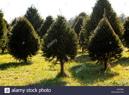 fraser fir christmas tree in farm stock photo royalty free image