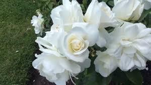 rosa iceberg floribunda white rose flowers in garden rosa