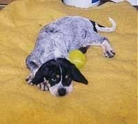 bluetick coonhound puppies near me bluetick coonhound dog breed information and pictures