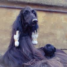 afghan hound 9 months is this the prettiest dog in the world bored panda
