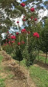 advanced trees established trees nurseries australia