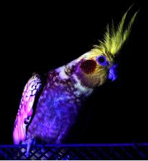 uv light for birds bazteki on twitter ok i knew birds see in uv and have uv markings