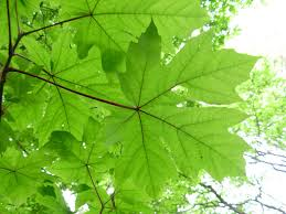 White Flag With Green Leaves 13 Species Of Maple Trees