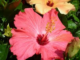 valley view farms plant of the week tropical hibiscus
