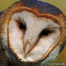What Does A Barn Owl Look Like Bbc Nature Barn Owl Wings Adapted For Silent Flight