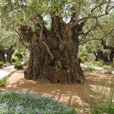 more faq u0027s about olive trees