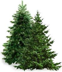 balsam christmas tree alders wholesale florists christmas trees fresh trees