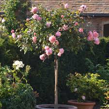 Patio Tree Rose by Standard Roses David Austin Roses