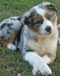 life with australian shepherd my baby ella a mini aussie it u0027s a dog u0027s life stuff