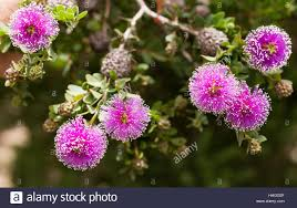 the callistemon bottlebrush tree flowers are spherical like