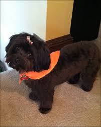 hair accessories for yorkie poos yorkie poo haircuts hairstyles ideas pinterest haircut styles