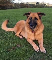 belgian shepherd nz veterinary specialists auckland advanced veterinary care