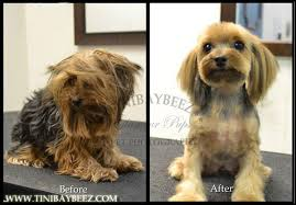 female yorkie haircuts styles tinibaybeez creative dog grooming by tina nichols in portage