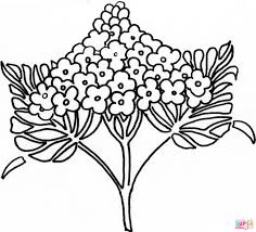 lewis u0027 mock orange or syringa coloring page free printable