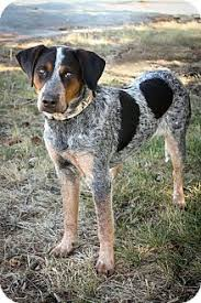 bluetick coonhound with cats nash adopted dog 6773 anderson in bluetick coonhound blue