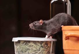 roof rats information identification u0026 how to get rid of them in