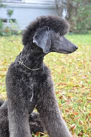 poodles long hair in winter poodle owners grooming questions