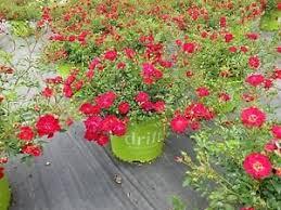 drift roses drift disease resistant easy to grow