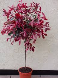 Lollipop Topiary Tree Special Deal Pair Of Hardy Evergreen Photinia Pink Marble