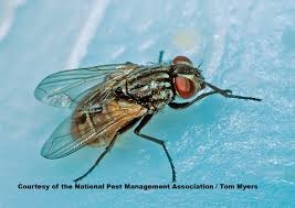 flies facts about flies types of flies pestworldforkids org
