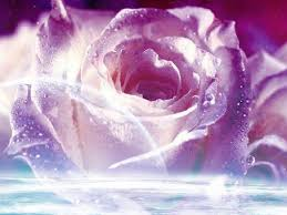 purple images purple rose hd wallpaper and background photos