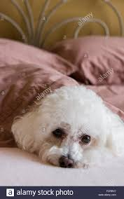 bichon frise long legs bichon frise dog lying stock photos u0026 bichon frise dog lying stock