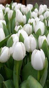 White Flowers Pictures - best 25 tulips flowers ideas on pinterest white flowers white
