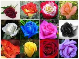 different color roses what the color of a really means