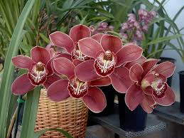 cymbidium orchids orchids beautiful cymbidium orchids orchid care