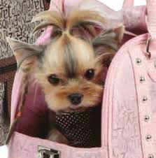 haircuts for yorkie dogs females yorkshire terrier energetic and affectionate pup home yorkie
