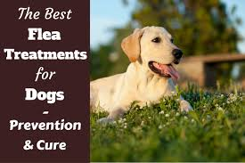 Backyard Flea Treatment by What Is The Best Flea Treatment For Dogs
