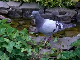 cuisine des pigeons voyageurs le forum de bassin bassin de jardin baignade naturelle