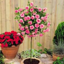 Shrubs For Patio Pots Online Suppliers Of Standard Trees For Gardens And Patios Choose