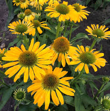 Summer Garden Plants - echinacea u0027golden skipper u0027 attracts butterflies to the summer