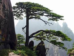 huangshan pines picture huangshan pictures china pictures