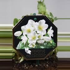 helleborus niger florastore