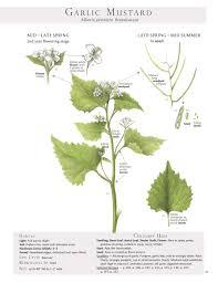 native plant identification garlic mustard root u003d wild style horseradish mustard plant